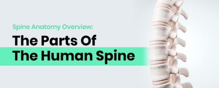 Spine Anatomy Overview: The Parts Of The Human Spine